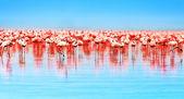 African flamingos — Stock Photo