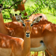 Stock Photo: Wild antelope