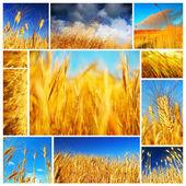 Pšeničné pole koláž — Stock fotografie