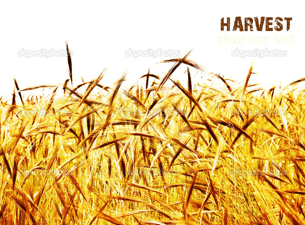 Golden wheat field, closeup on rye with selective focus with text space, harvest concept — Stock Photo #6631361