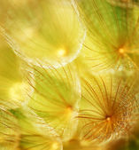 Soft dandelion flower — Stock Photo