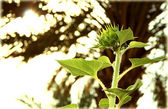 Green sunflower — Stock Photo