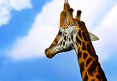 Portrait of Giraffe — Stock Photo