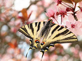Beautiful butterfly Papilion on the flowers of tree — Photo