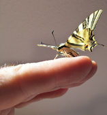 Butterfly Papilio in one hand — Stock Photo