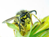 Yellow wasp on a few green leaves — 图库照片