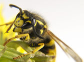 Yellow wasp on a few flowers of colors — Stock Photo