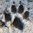 Footprint of wolf — Stock Photo