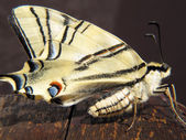 Machaon butterfly perched on an old wooden — Stock Photo