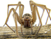 Macro of a spider (Lycosidae Licosas) on a branch — Stock Photo