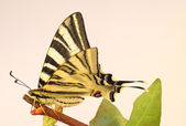 Old World Swallowtail Butterfly on a twig — Stock Photo