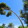 Stock Photo: Lodgepole pine