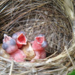Three White Wagtails hatchlings in the nest - ストック写真