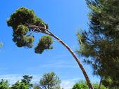 Lodgepole pine — Stock Photo