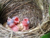 Three White Wagtails hatchlings in the nest — 图库照片