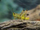 Green grasshopper on a stone — Stock Photo