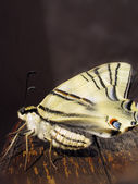 Old World Swallowtail butterfly on a log — Stock Photo