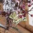 Old World Swallowtail Butterfly on a flower — Stock Photo