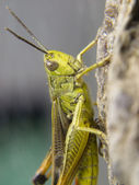 Closeup of a grasshopper — Stock Photo
