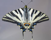 Overall view of a butterfly Papilio machaon — Stock Photo