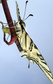 Papilio machaon butterfly on a branch watching the scenery — Stock Photo