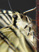 Detail of a butterfly Papilio machaon with its trunk — Stock Photo