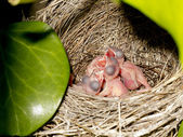 Wagtail nest with hatchlings with 2 days — Stock Photo