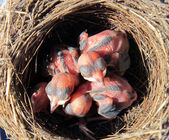 Wagtail nest with hatchlings with 4 days — ストック写真