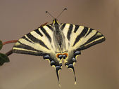 Old World Swallowtail Butterfly resting on a twig — Stock Photo