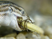 A lizard eating a cricket — Photo