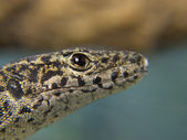 Lizard head in the foreground — Stock Photo