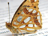 Orange and silver butterfly on a newspape — Stock Photo