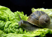 Snail on a lettuce leaf — Stock Photo