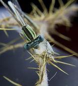 Dragonfly head on a stick — Fotografia Stock