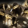 Stock Photo: Eight newborn ducklings closely together
