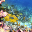 Coral caribbean reef Mayan Riviera Grunt fish - Stock Photo