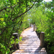 Mangrove forest walkway jungle mexico — Stock Photo