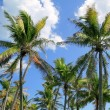 Coconut palm trees tropical typical background — Stock Photo #5393487