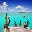 Caribbean pelican turquoise beach tropical sea - Stock Photo