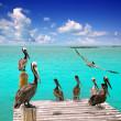 Caribbean pelican turquoise beach tropical sea — Stock Photo