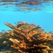 Elkhorn coral reef in Quintana Roo Mexico - Stock Photo