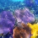 Gorgonian sea fan purple coral — Stock Photo #5399053