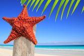 Caribbean starfish on wood pole beach — Stock Photo