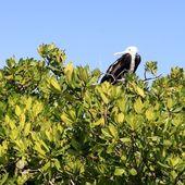 Frigate baby bird in Contoy island mangrove — Stock Photo