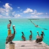 Caribbean pelican turquoise beach tropical sea — Stock Photo