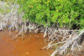 Mangrove plant red water and aerial roots blue sky — Stock Photo