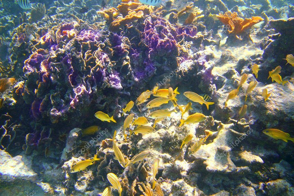 Coral caribbean reef mayan riviera grunt fish stock for Caribbean reef fish