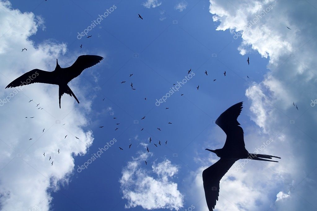 Frigate bird silhouette backlight breeding season sky background — Stock Photo #5393466