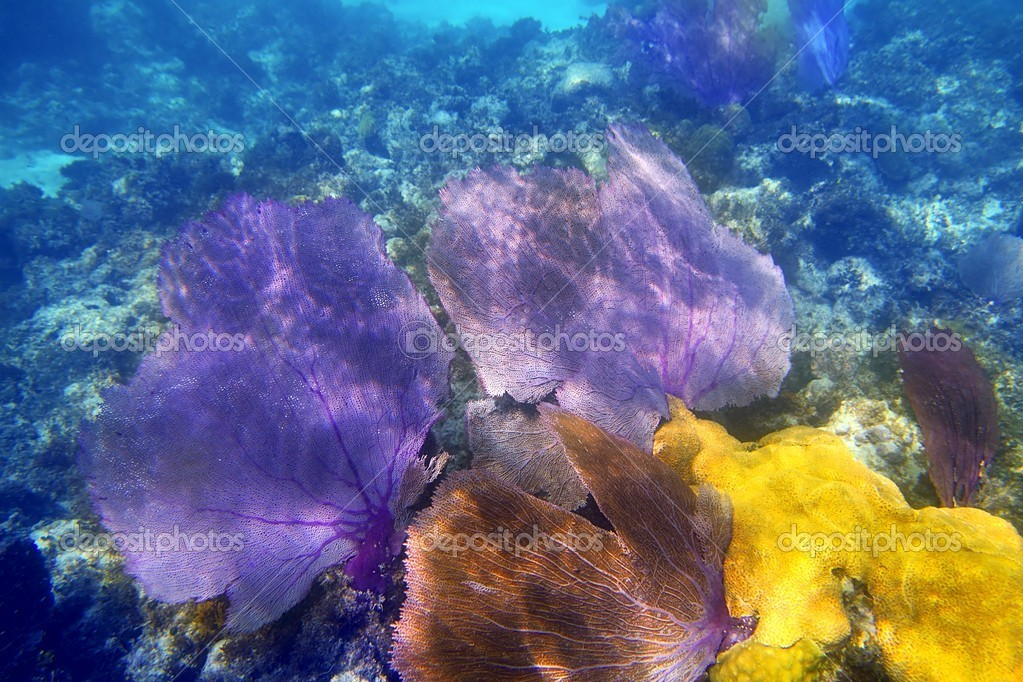 Gorgonian sea fan purple coral in carribean underwater — Stock Photo #5399053
