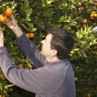 Orange tree field farmer harvest picking fruits — Stock fotografie
